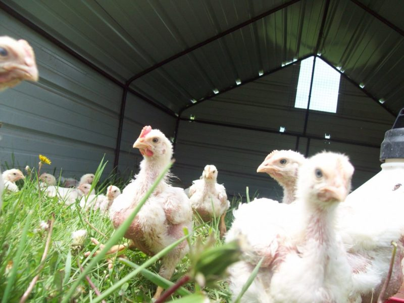 Humanely raised, pastured, certified organic chicken!